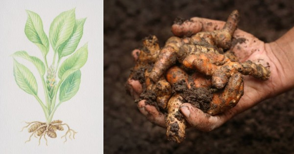 How To Grow Your Own Unlimited Supply Of Turmeric At Home. It's Very Easy!