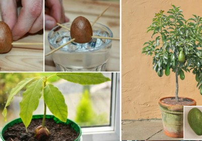 How to Grow Your Own Avocado Tree from Seed